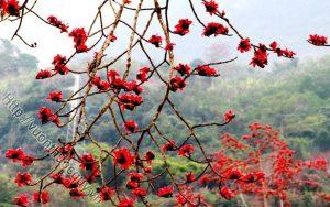 cây gạo vị thuốc quý