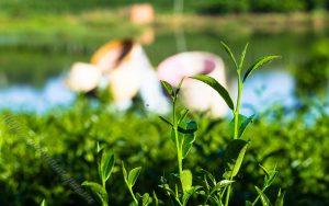 lịch sử và nguồn gốc của trà