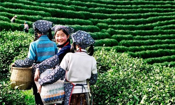 nguồn gốc của trà