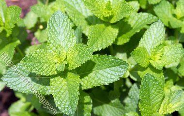 Bạc Hà hay Bạc hà nam - Mentha arvensis L. Có tác dụng hỗ trợ tiêu hóa, hỗ trợ làm đẹp, giúp tăng cường sức khỏe răng miệng, hỗ trợ điều trị dị ứng...