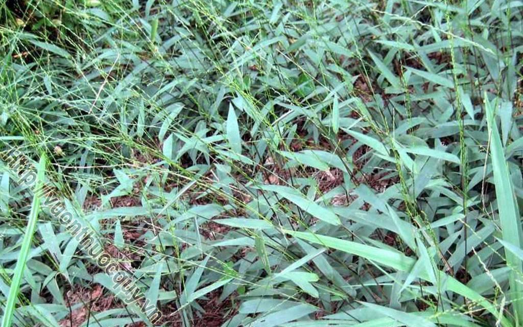 cây áp chích thảo