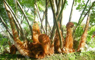 Cẩu Tích Hỗ Trợ Bổ Thận, Cường Gân Cốt; ẩu tích còn gọi là kim mao cẩu tích, cây lông khỉ, lông cu ly. Theo Đông y, cẩu tích vị khổ, cam...