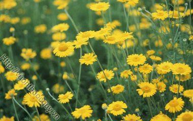 Cúc Hoa Vàng Hỗ Trợ Điều Trị Bệnh Mắt, Cúc hoa vàng, tên khác là hoàng cúc, cam cúc, dã cúc, khổ ý. Cây được trồng làm cảnh lấy hoa ướp trà...