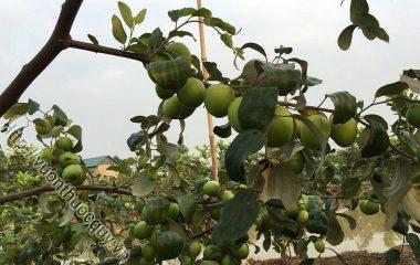Đại Táo Hỗ Trợ Bổ Huyết; Đại táo còn gọi là táo tàu, táo đen, hồng táo, có tên khoa học là Zizyphus jujuba Lamk, là một vị thuốc rất...