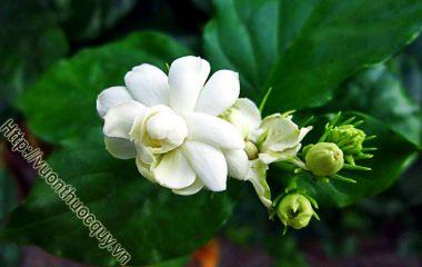Hoa Nhài Có Công Dụng Gì ? Theo y học cổ truyền, hoa và lá nhài có vị cay và ngọt, tính mát; có tác dụng trấn thống, thanh nhiệt giải biểu...