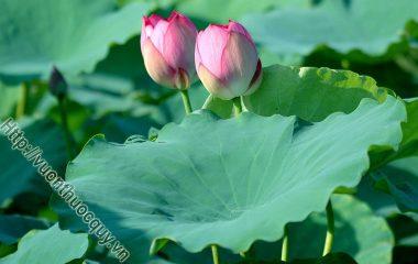 Lá Sen Hỗ Trợ Hạ Huyết Áp, Sen được chọn là quốc hoa của Việt Nam không chỉ vì vẻ đẹp cao quý mà còn do công dụng tuyệt vời đối với sức...