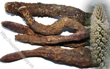 Nhục Thung Dung Vị Thuốc Phòng The; Nhục thung dung là một trong những vị thuốc có lịch sử sử dụng lâu đời nhất trong đông y, được sử...