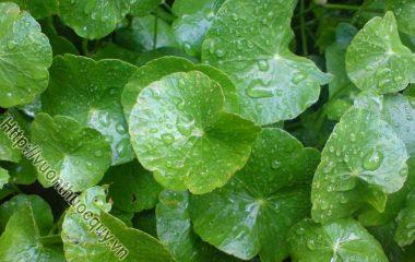 Rau Má Vị Thuốc Quý Ngày Oi Nóng, rau má mọc hoang khắp nơi, nay được nhiều nước trồng để làm thuốc. Rau má có tên khoa học là Centella...