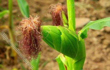 Râu Ngô Giúp Hạ Mỡ Máu; Ngô hay còn gọi là ngọc mễ, thuộc 5 loại ngũ cốc cung cấp dinh dưỡng tốt cho cơ thể. Trong hạt ngô chứa nhiều...