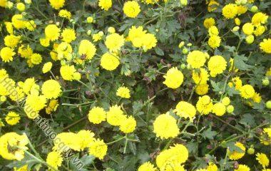 Chữa Bệnh Bằng Hoa Cúc Ngày Tết; Theo các chuyên gia phong thủy, cúc là loài hoa tượng trưng cho phẩm chất cao đẹp, trường thọ, phúc lộc...