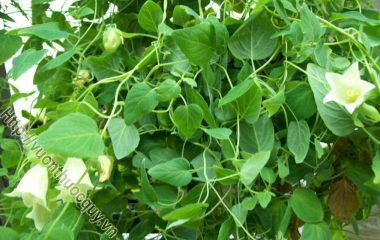 Đẳng Sâm Hỗ Trợ Dưỡng Huyết; Đảng sâm (đẳng sâm) là rễ phơi hay sấy khô của cây đảng sâm (Codolopsis sp), họ hoa chuông (Campanulaceae)...