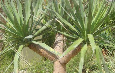 Huyết Giác Hỗ Trợ Điều Trị Đau Nhức Xương Khớp; Huyết giác còn có tên khác là trầm dứa, cây xó nhà, là loại cây nhỡ, cao tới 10m, to 30cm...
