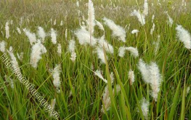 Rễ Cỏ Tranh Hỗ Trợ Điều Trị Bệnh Đường Tiết Niệu; Rễ Cỏ Tranh còn gọi là bạch mao căn mọc ra nhỏ như sợi tóc màu trắng. Theo Đông y...