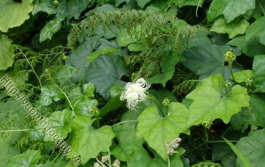 Thiên Hoa Phấn Hỗ Trợ Điều Trị Bệnh Tiểu Đường; Thiên hoa phấn là tên thuốc trong y học cổ truyền của rễ cây qua lâu, còn gọi là qua lâu căn...