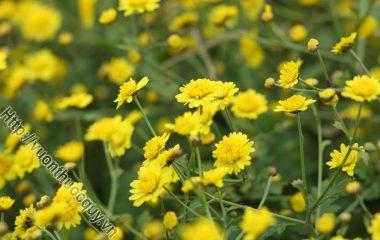 Bài Thuốc Hay Từ Cúc Hoa Vàng; Kim cúc còn gọi là cúc hoa vàng hay hoàng cúc, tên khoa học là Chrysanthemun indicum L.C boreale Ma...