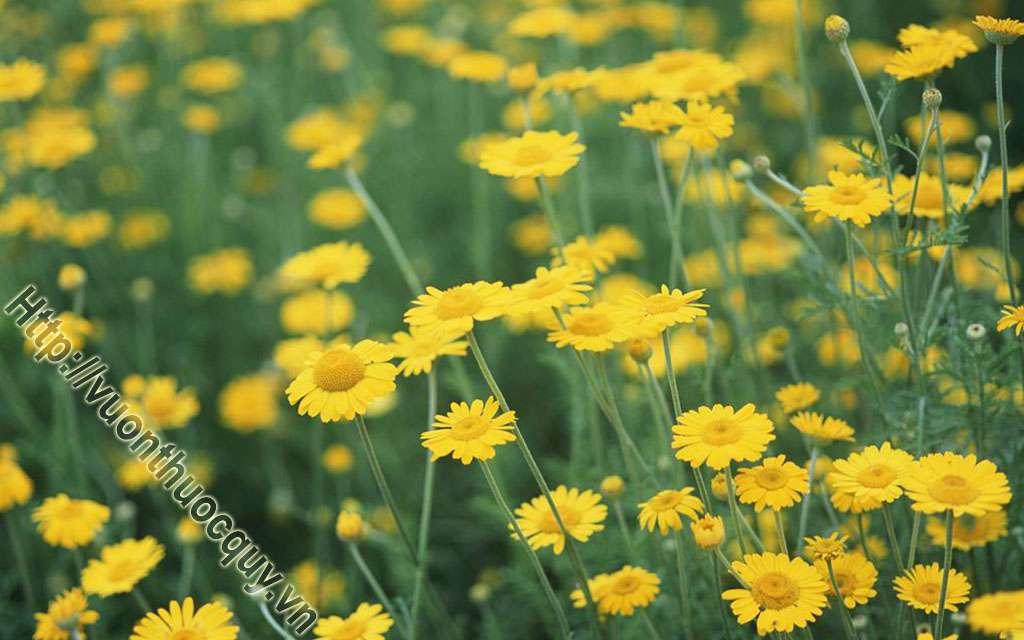 Địa Chỉ Bán Hoa Cúc Vàng Nguyên Chất
