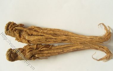 Đương Quy Thuốc Quý Cho Chị Em; Đương quy là rễ đã phơi hay sấy khô của cây đương quy. Vị ngọt cay, tính ôn; vào kinh tâm, can và tỳ...