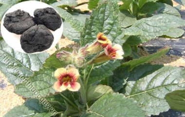 Những Dược Liệu Quý Từ Sinh Địa Hoàng; Sinh địa hoàng hay còn gọi là sinh địa [Rhemannia gluticosa (Gaertn.) Libosch.], họ hoa mõm sói...