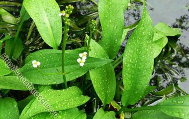 Trạch Tả Hỗ Trợ Bổ Gan; Trạch tả thuộc họ trạch tả, tên khác là mã đề nước, là một cây thảo, cao 40-50cm. Bộ phận dùng làm thuốc của trạch...