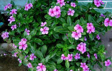 Cây Dừa Cạn Hỗ Trợ Điều Trị Ung Thư; Dừa cạn còn gọi là bông dừa, hoa hải đằng, trường xuân hoa, nhật nhật tân... tên khoa học Catharanthus...