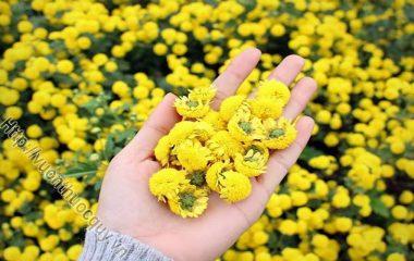 Hoa Cúc Làm Thuốc; Cúc có khoảng 13.000 loài, trong đó hai vị thường dùng nhất là bạch cúc (cúc trắng) và kim cúc (cúc vàng). Theo Tây y...