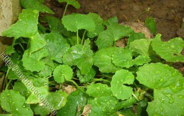 Rau Má Tốt Cho Bệnh Nhân Xơ Cứng Bì; Rau má (Centella asiatica) còn có tên khác là liên tiền thảo, tích tuyết thảo, thường ở những nơi râm...