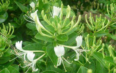 Hoa Kim Ngân Hỗ Trợ Giải Nhiệt; Loài hoa này được các lương y xưa và nay sử dụng với vai trò là vị thuốc quan trọng trong các bài thuốc điều trị bệnh...