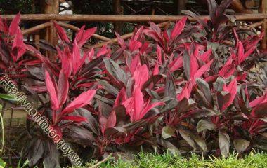 Lá Huyết Dụ Tốt Trong Các Chứng Chảy Máu; Trong vườn cây cảnh mà có trồng mấy chậu huyết dụ, màu đỏ của cây sẽ nổi bật. Không chỉ đẹp qua...
