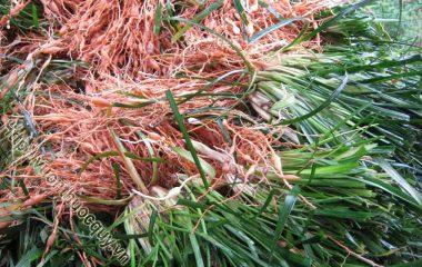Mạch Môn Đông Hỗ Trợ Nhuận Phế; Mạch môn đông còn gọi là mạch môn, củ tóc tiên. Mạch môn đông là rễ phình ra thành củ phơi hay sấy khô của...