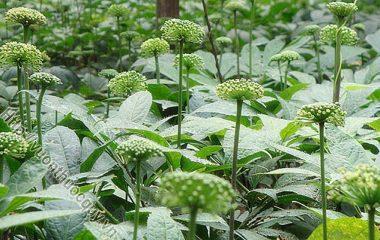 Những Công Dụng Quý Của Hoa Tam Thất; Nhắc đến tam thất, đa phần mọi người thường biết đến củ dùng làm thuốc, thế nhưng nụ hoa tam thất...