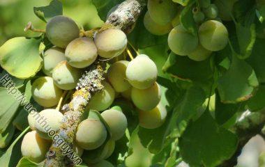 Bạch Quả Hỗ Trợ Điều Trị Hen Suyễn; Bạch quả còn có tên bạch quả nhân, ngân hạnh nhân, là hạt chín già của cây bạch quả (Ginkgo biloba L.), thuộc họ...
