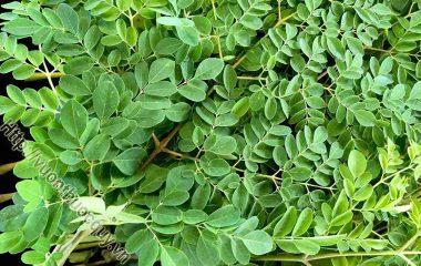 Chùm Ngây Phòng Ngừa Loãng Xương; Chùm ngây là loại cây có xuất xứ từ vùng Nam Á. Loại cây này trước đây mọc hoang rất nhiều ở Việt Nam nhưng...