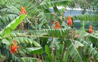 Chuối Hột Rừng Tốt Cho Thận; Cây chuối hột được dùng để hỗ trợ điều trị bệnh sỏi thận, đái tháo đường... Gần đây người ta lại ưa dùng chuối hột rừng...