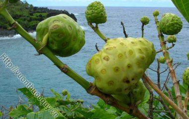 Những Công Dụng Của Viên Nhàu Noni; Cây nhàu là một loài cây không chỉ được chồng ở Việt Nam mà còn xuất hiện ở nhiều nước khác trên thế giới, đặc biệt...