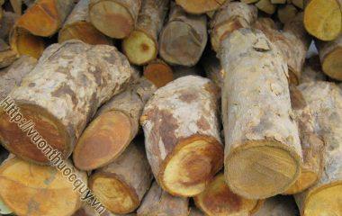 Những Điều Cần Biết Khi Sử Dụng Cây Mật Gấu; Cây mật gấu là vị thuốc nam có nhiều tác dụng quý, hiện nay có 2 loại đều được người dân gọi là cây mật gấu...
