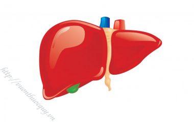 Gan là tạng lớn nhất trong cơ thể với hàng trăm chức năng khác nhau trong cơ thể. Gan là một cơ quan nằm phía trên bên phải ổ bụng.
