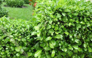 Cây Ắc Ó thuộc cây mọc hoang rất dễ trồng, dễ cắt tỉa tạo hình theo ý muốn gia chủ hay làm thành hàng rào xanh trước nhà hay tạo các đường viền bồn hoa sân.