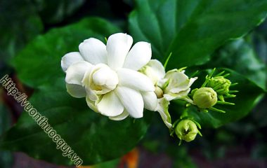 Cây Nhài ở nhiều vùng nước ta được trồng để làm cây cảnh và lấy hoa, lá, rễ làm thuốc chữa bệnh; hoa còn được dùng ướp chè...