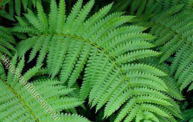 Âm Địa Quyết cao 15-20cm, tới 40cm. Thân rễ ngắn mọc đứng. Lá có cuống dày, nạc, dài 4-9cm, phần không sinh sản dài 5-27cm, rộng 8-15cm, có dạng tam giác tù...
