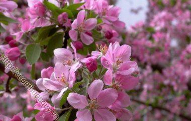Anh Đào quả tròn và đỏ như viên ngọc, trong suốt, long lanh, vị ngọt. Cây anh đào thuộc họ tường vi, hoa nở vào tháng 3, 4, sang tháng 5 quả chín...
