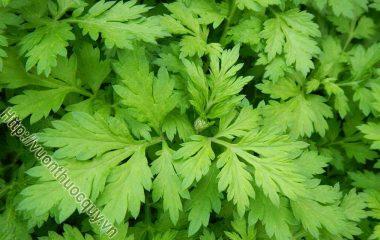 Cây Ngải Cứu còn có tên trong dân gian là cây thuốc cứu, cây thuốc cao hay ngải điệp có tên khoa học Artemisia vulgaris L. họ Cúc Asteraceae...