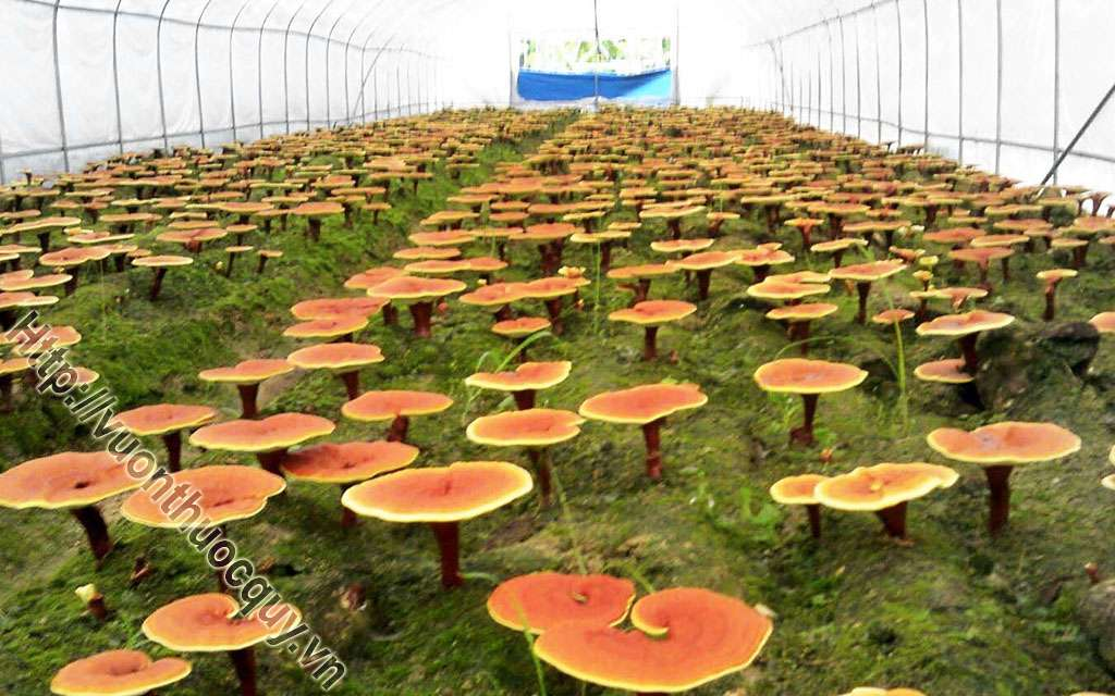 tìm hiểu về nấm linh chi đỏ