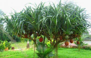 Công Dụng Của Cây Dứa Dại, theo y học cổ truyền thì lá có vị đắng, cay, thơm, có tác dụng diệt khuẩn; rễ có vị ngọt nhạt...