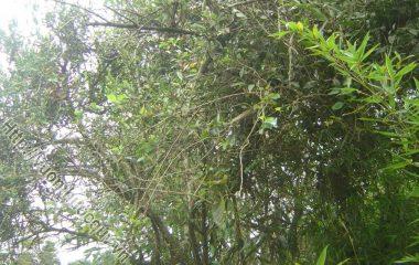 Hỗ Trợ Điều Trị Bệnh Từ Cây Tầm Gửi. Tầm gửi là các loài cây sống ký sinh trên các cây chủ khác nhau. Từ lâu, Đông y đã sử dụng các loài...