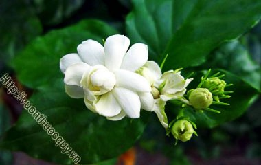 Theo y học cổ truyền, hoa và lá nhài có vị cay và ngọt, tính mát; có tác dụng trấn thống, thanh nhiệt giải biểu, lợi thấp. Có công dụng hỗ trợ điều trị ngoại cảm phát sốt, đau bụng, mụn nhọt độc...