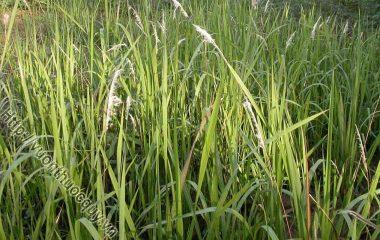 Rễ Cỏ Tranh Hỗ Trợ Lợi Tiểu; Rễ cỏ tranh là bộ phận dùng làm thuốc từ cây cỏ tranh. Cây cỏ tranh là loại cỏ sống lâu năm. Lá mọc thẳng đứng...