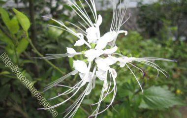 Cây râu mèo còn có tên gọi là cây bông bạc, thuộc họ hoa môi. Là loại cây thảo lâu năm, cao khoảng 0,5-1m. Thân vuông, thường có màu nâu tím. Lá mọc đối, có cuống ngắn, chóp nhọn, mép khía răng to...