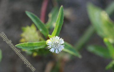 """Cỏ Mực Loài Rau Lương Huyết; Cỏ mực có tên khoa học là Eclipta alba Hassk thuộc họ Cúc Asteraceae. Gọi là """"mực"""" vì vò nát có nước chảy ra..."""