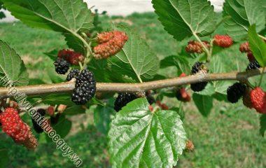 Lá Dâu Hỗ Trợ Mát Gan; Lá dâu còn gọi tang diệp, là lá của cây dâu tằm, loại cây được nhân dân ta nuôi trồng từ lâu đời để nuôi tằm...