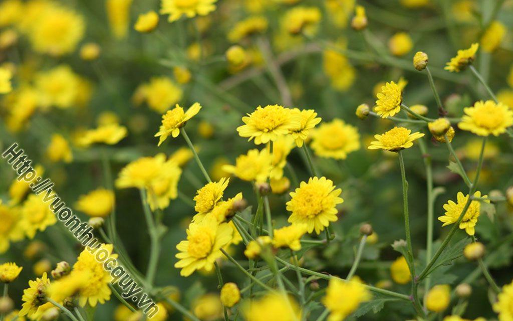 Bài Thuốc Hay Từ Cúc Hoa Vàng
